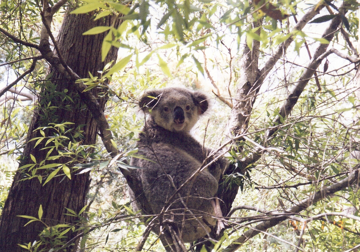 Pity About the Australian Koala! | Roslyn Motter ...