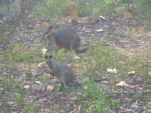Wallabies living in the Blue Mountains of Sydney